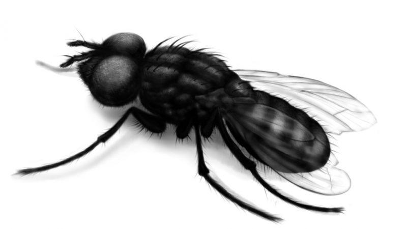 Czarna mucha wzór tatuażu
