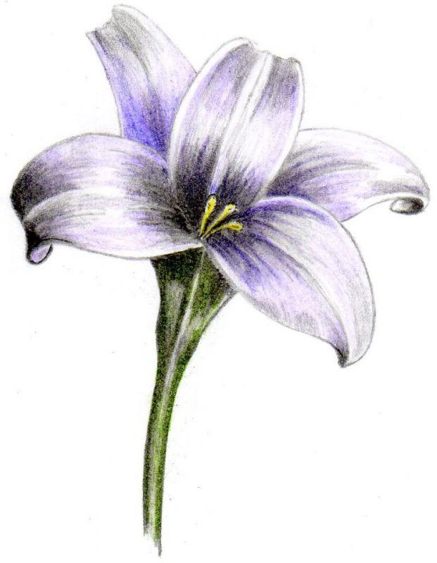 Fioletowa lilia wzór tatuażu