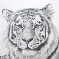 Głowa dorosłego tygrysa