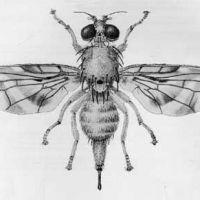 Wzór tatuażu mucha z czarnymi oczami