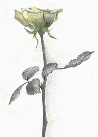 Żółta róża wzór tatuażu